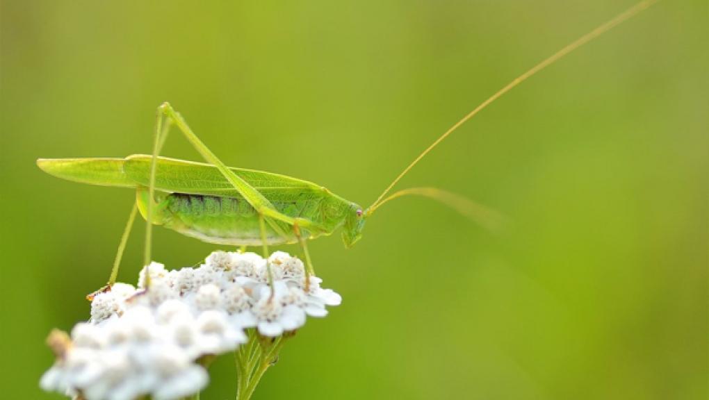 Grande sauterelle verte © Yeden_Devianart .png
