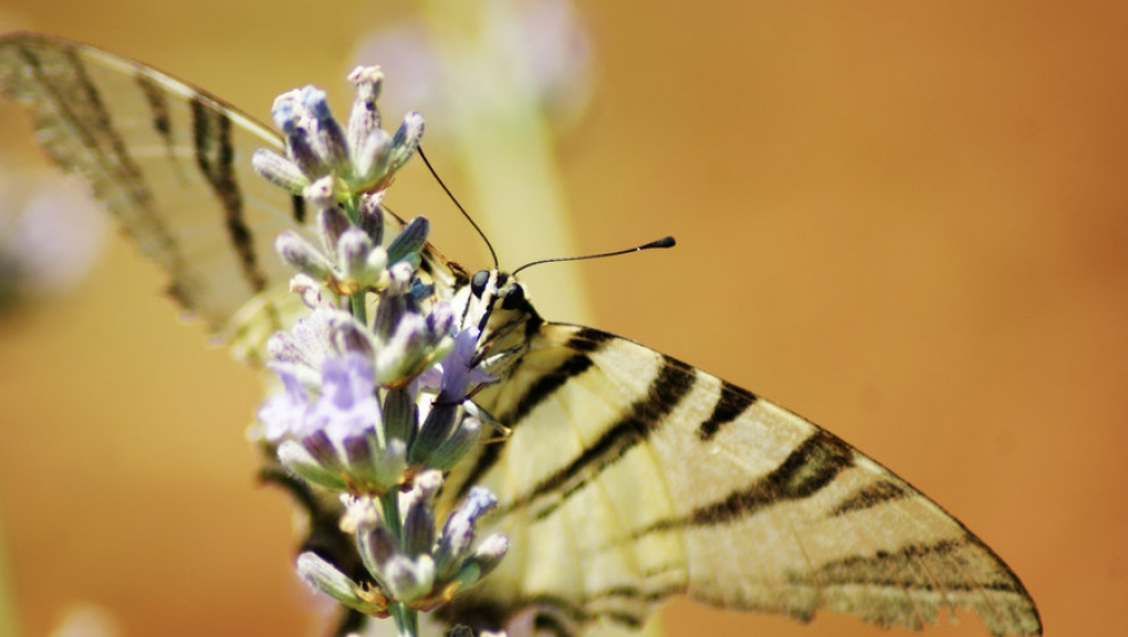 scarce_swallowtail_na_lavender_by_maticg-d576z98.jpg