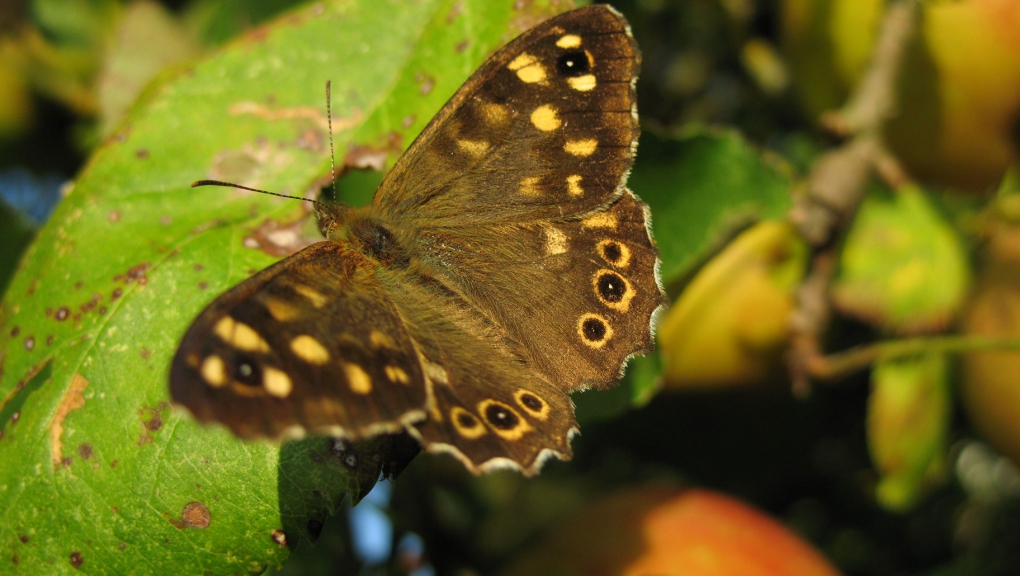 Papillon_Tircis©Benoît_Fontaine -MNHN