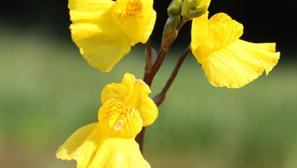 utricularia australis.jpg