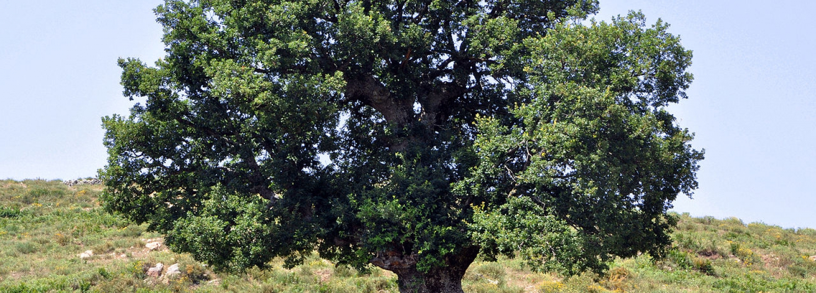 1280px-Oak_tree_in_Corsica.jpg