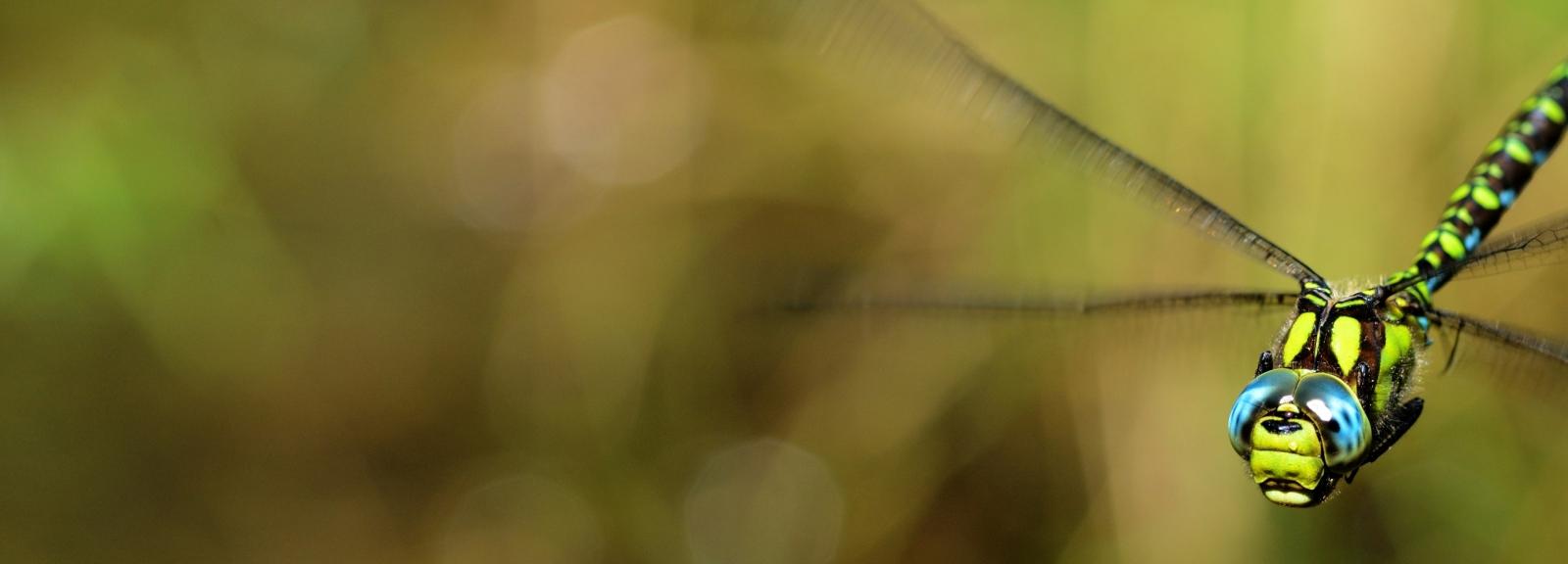 libellule © martin_jeanmougin -mnhn