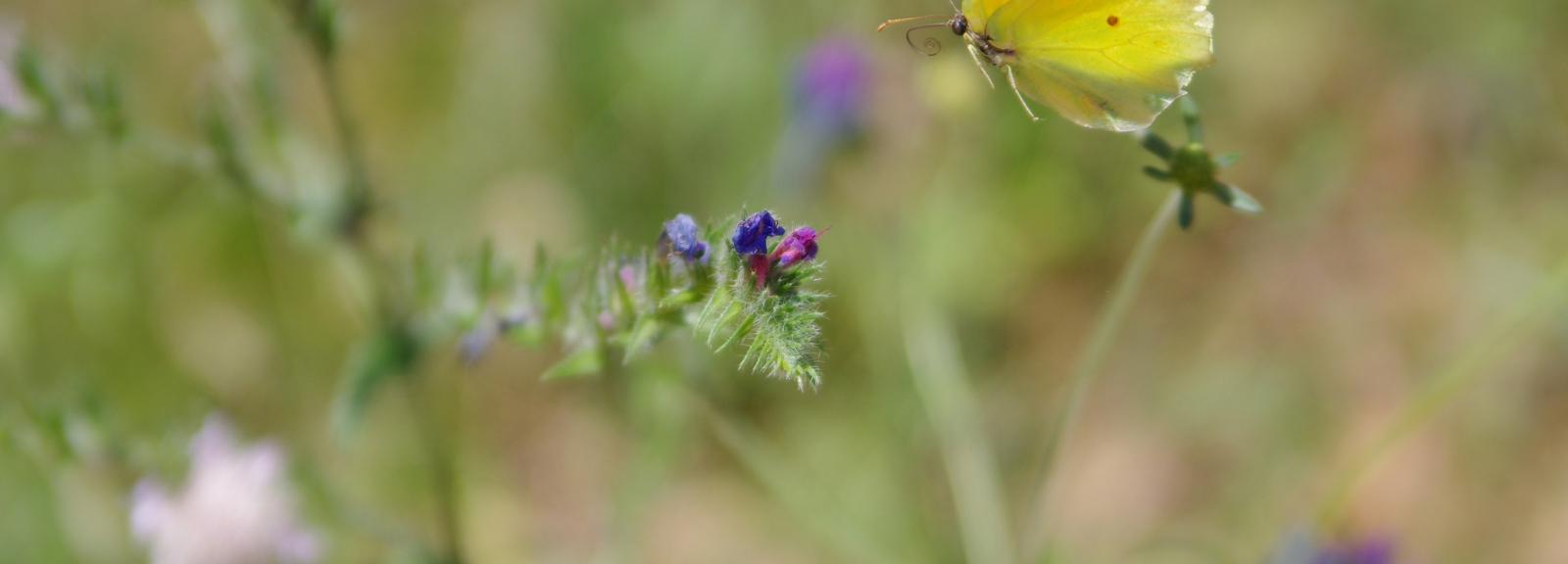 Papillon_citron © yves_p