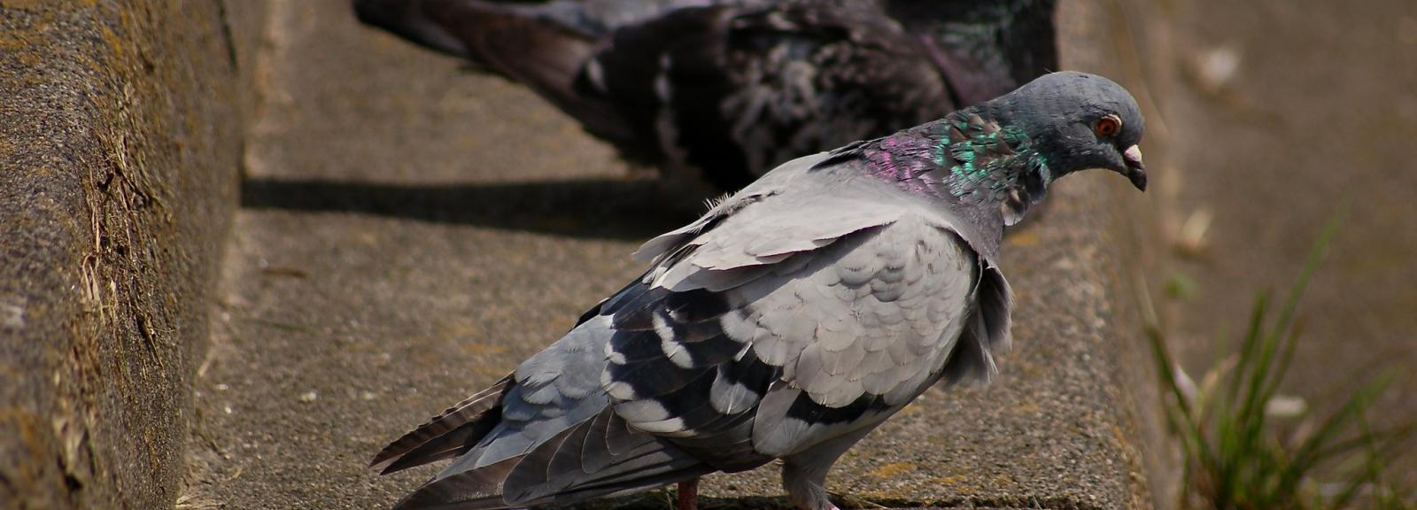 pigeons ©  dennis_ab (Flickr)