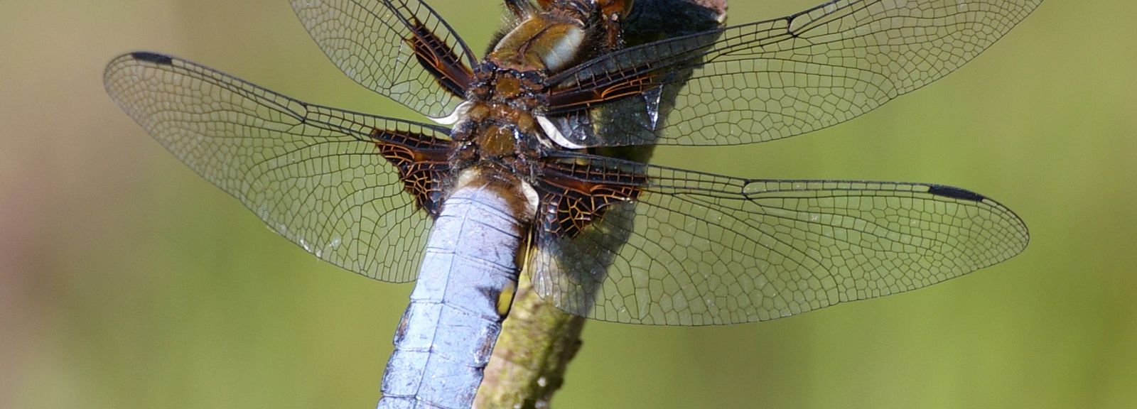 libellule déprimee © christian fischer -MNHN