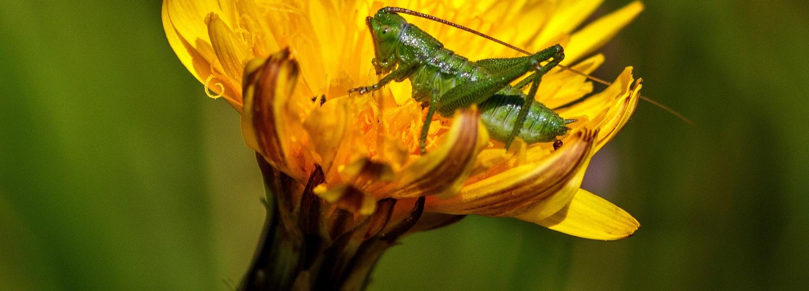 Nymphe Grande sauterelle verte © maxime raynal (flickr)