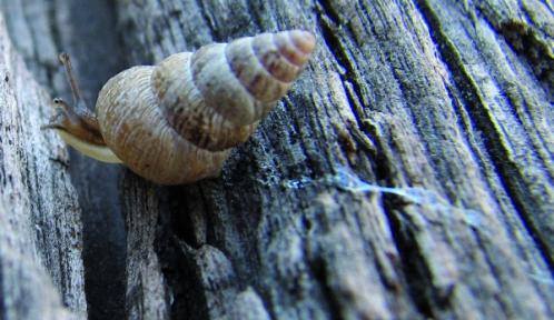 Cochlicella_barbara_11-10-2011@Peter Shanks.jpg