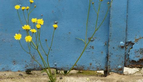 Crepis taraxacifolia Thuill. par Claude Virloire (CC-by-SA).jpg