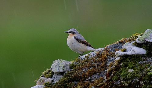 Flickr_-_Rainbirder_-_WET_WHEATEAR_(Oenanthe_oenanthe)@Steve Garvie.jpg
