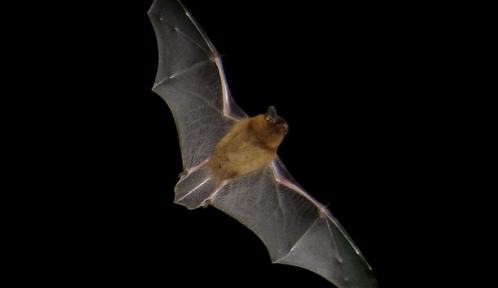 Pipistrellus_flight2@barracuda83 WIKI.jpg