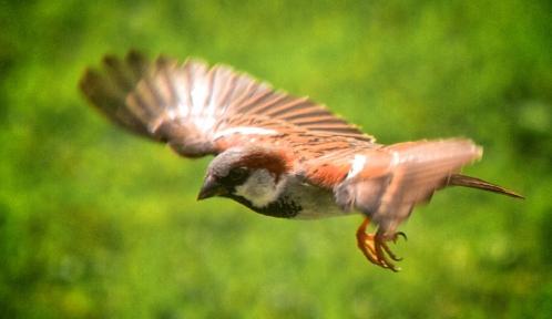 Sparrow_in_flight@davidgsteadman wikimedia.jpg