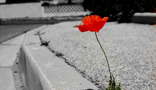 coquelicot@Ouvrir les yeuxflickr.jpg