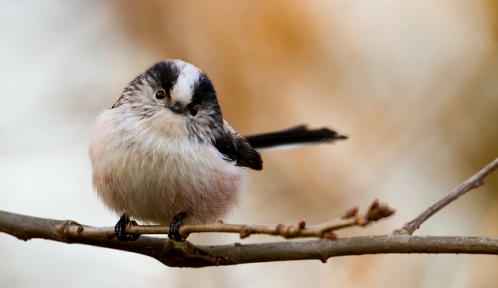 long tail tit@Giedrius Stakauskasflickr.jpg