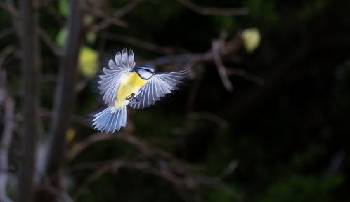 mésange bleue@Vincent BASSO-BERTflickr.jpg