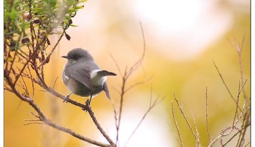 oiseaux lunettesgris@Esnault Olivierflickr.jpg