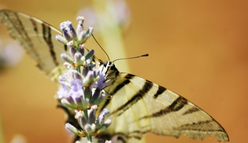 scarce_swallowtail_na_lavender_by_maticg-d576z98.jpg
