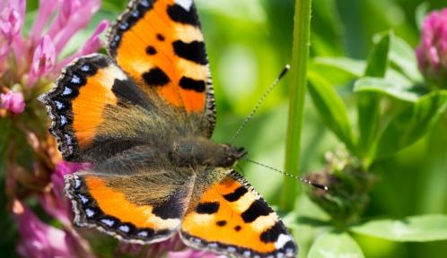 Petite_tortue_papillon© jean-raphael_guillaumin (Flickr)