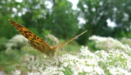 Argynnis sp. © L. Garnier