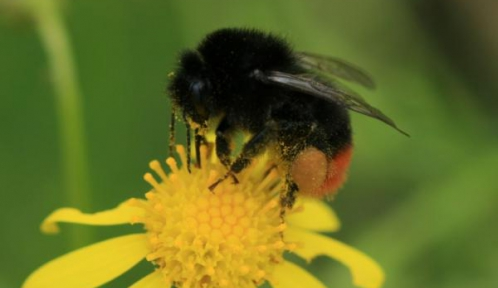 bombus© Michel Marly | participant au Spipoll