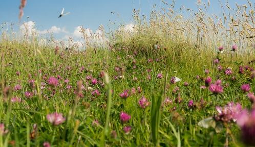 trefle et papillons@blandineLflickr.jpg