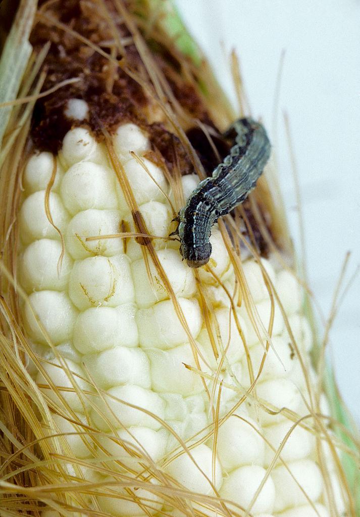 vers maïs