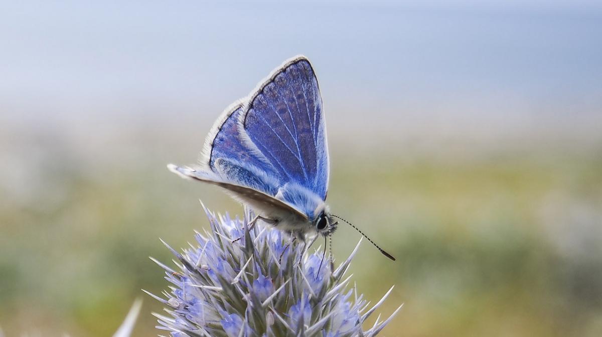 Argus bleu © Peter Broster | Wikimedia commons
