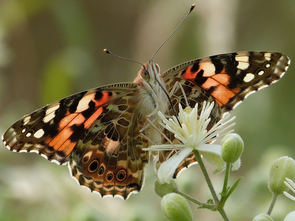 La Belle-Dame, papillon migrateur © atreb | Spipoll