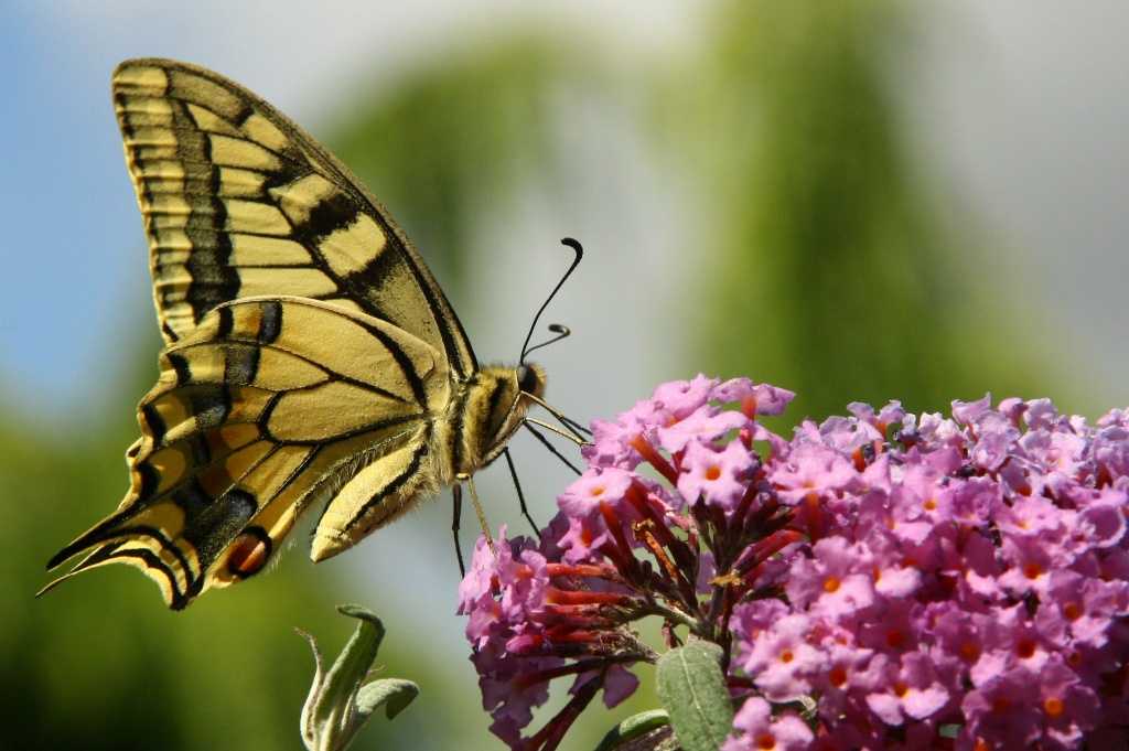 Le Machaon © Les herbets | Spipoll