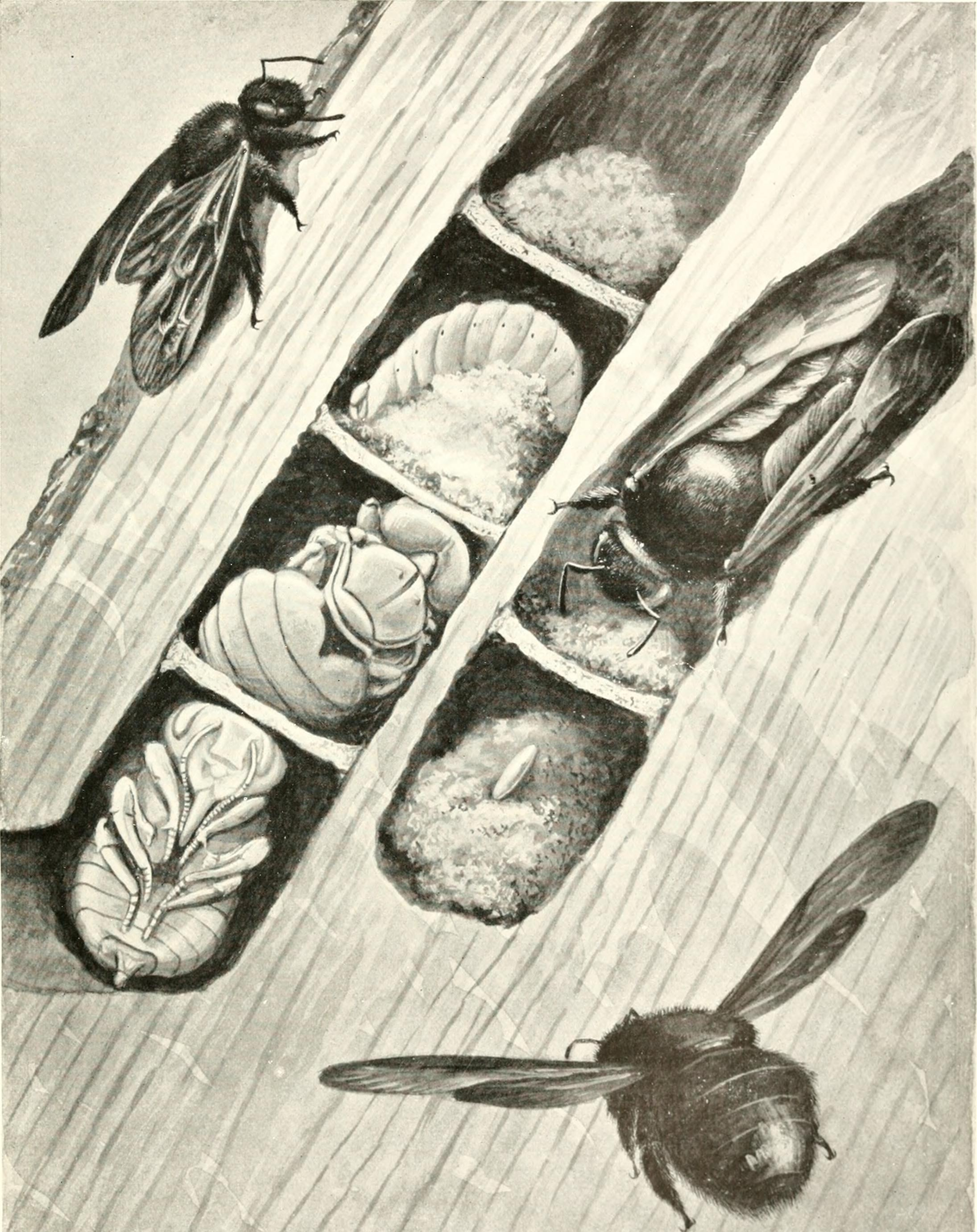 Xylocopa violacea (wikipedia)