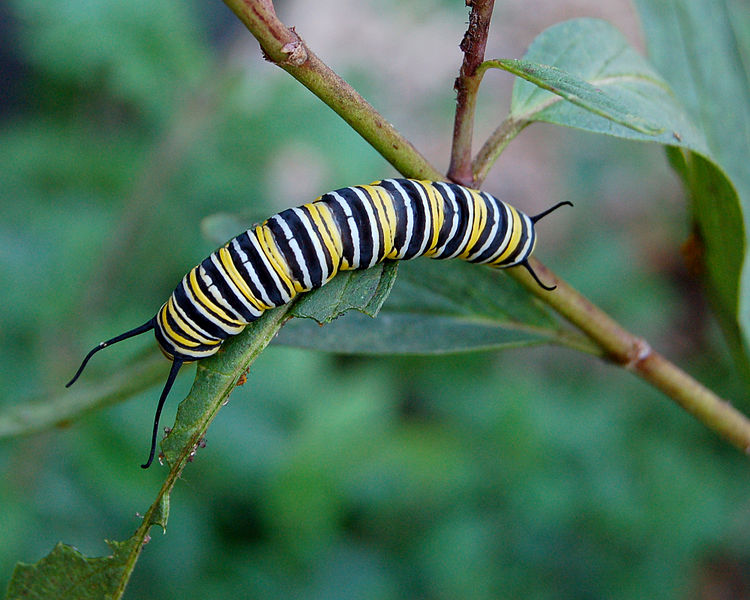 Larve de papillon Monarque © Derek Ramsey | Wikimedia