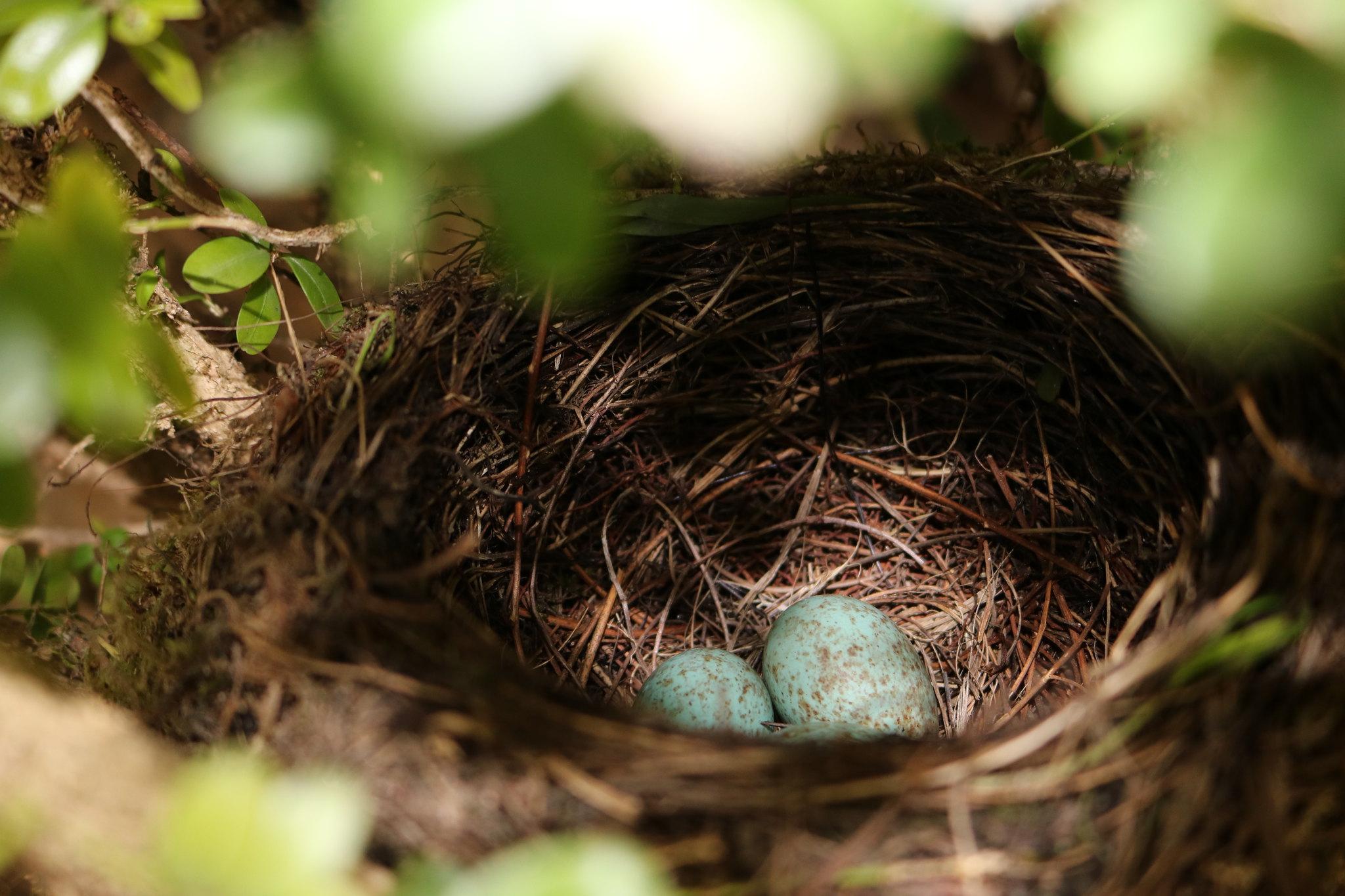 nidification © OlivierCecillon (flickr)